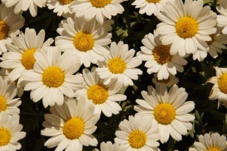 jardín, naturaleza, hoja, Margarita, flora, pétalos, flores silvestres, hierba, verano