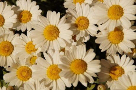 bouquet, nature, jardin, pétale, flore, l'été, fleur, Marguerite