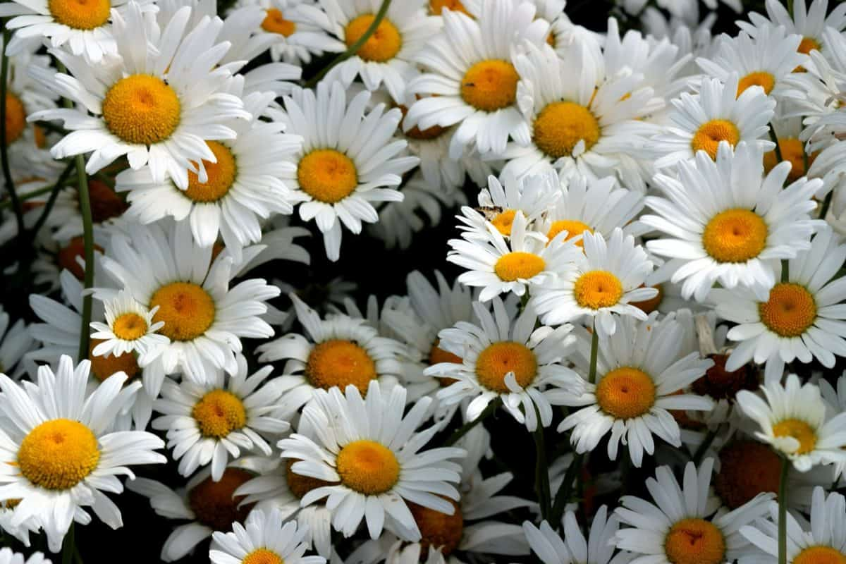 nature, summer, flower, garden, petal, flora, daisy, plant