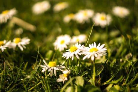 hierba verde, naturaleza, flora, flores silvestres, jardín verano, campo, hierba