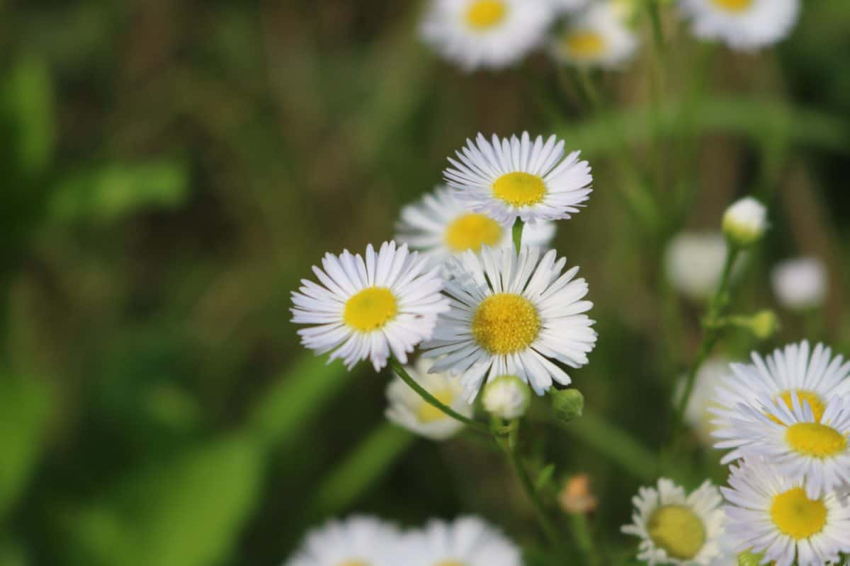 flora, nature, wildflower, meadow, summer, herb, plant, daisy, blossom