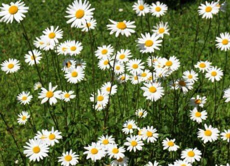 Flora, petal, zahradu, v létě, wildflower, pole, tráva, příroda