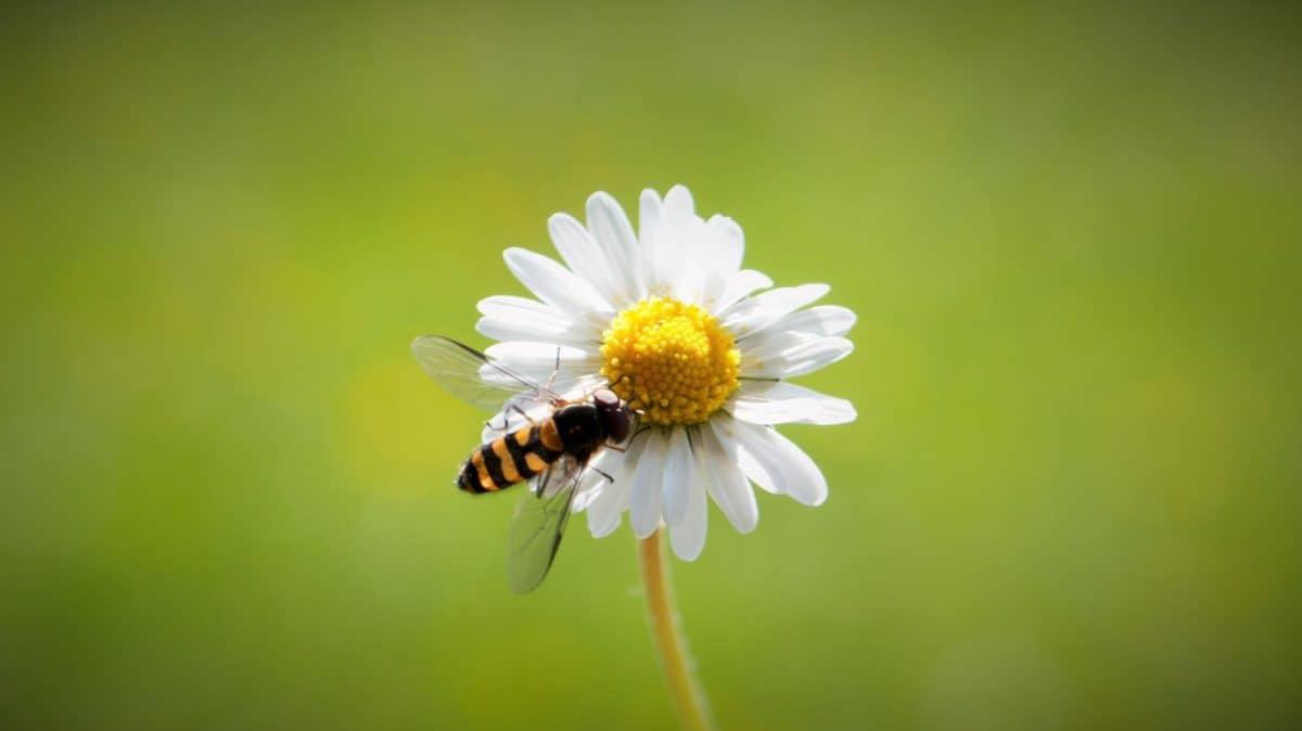 summer, nature, bee, flower, daisy, plant, blossom, herb, garden