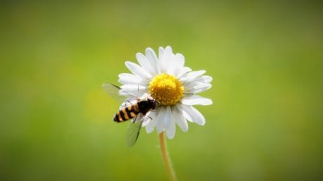 summer, nature, bee, flower, daisy, plant, blossom, herb, garden
