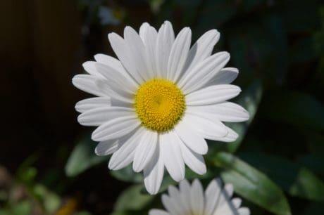 nature, flora, summer, flower, daisy, blossom, plant, garden
