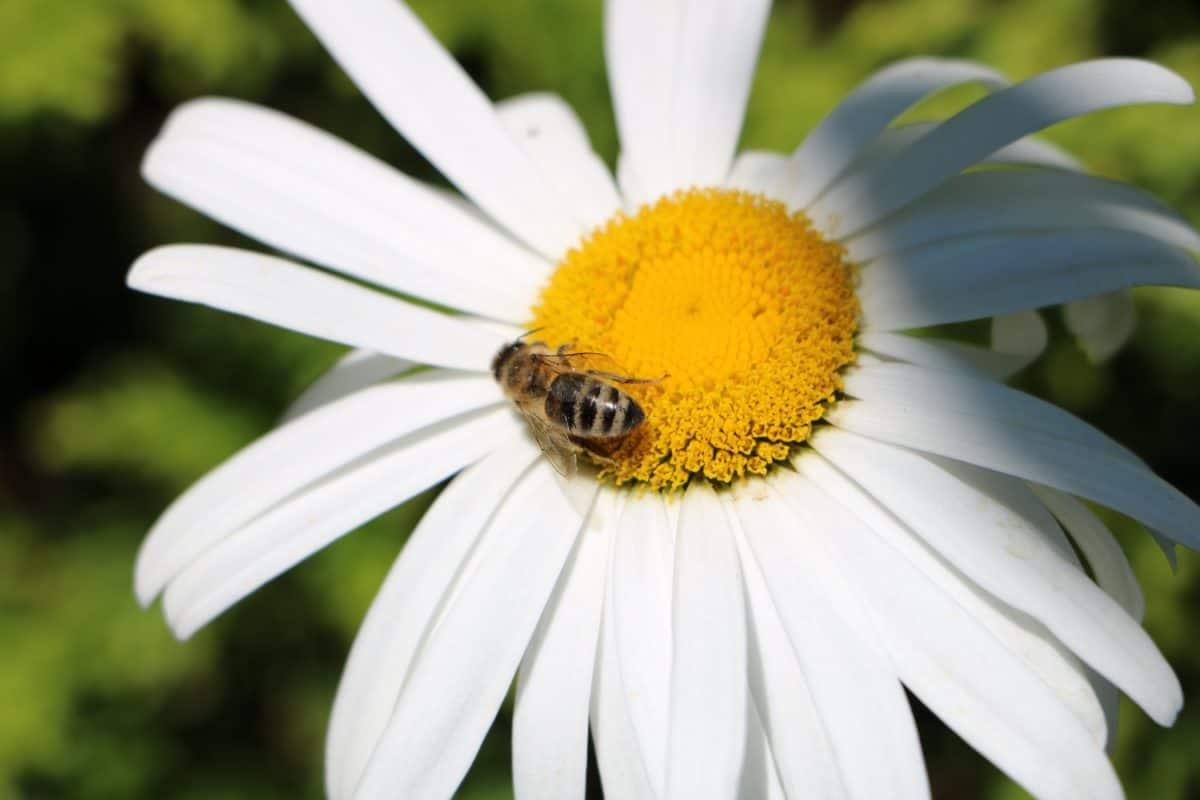 summer, inswcr, bee, pollen, flora, nature, flower, pollen, daisy, garden, plant