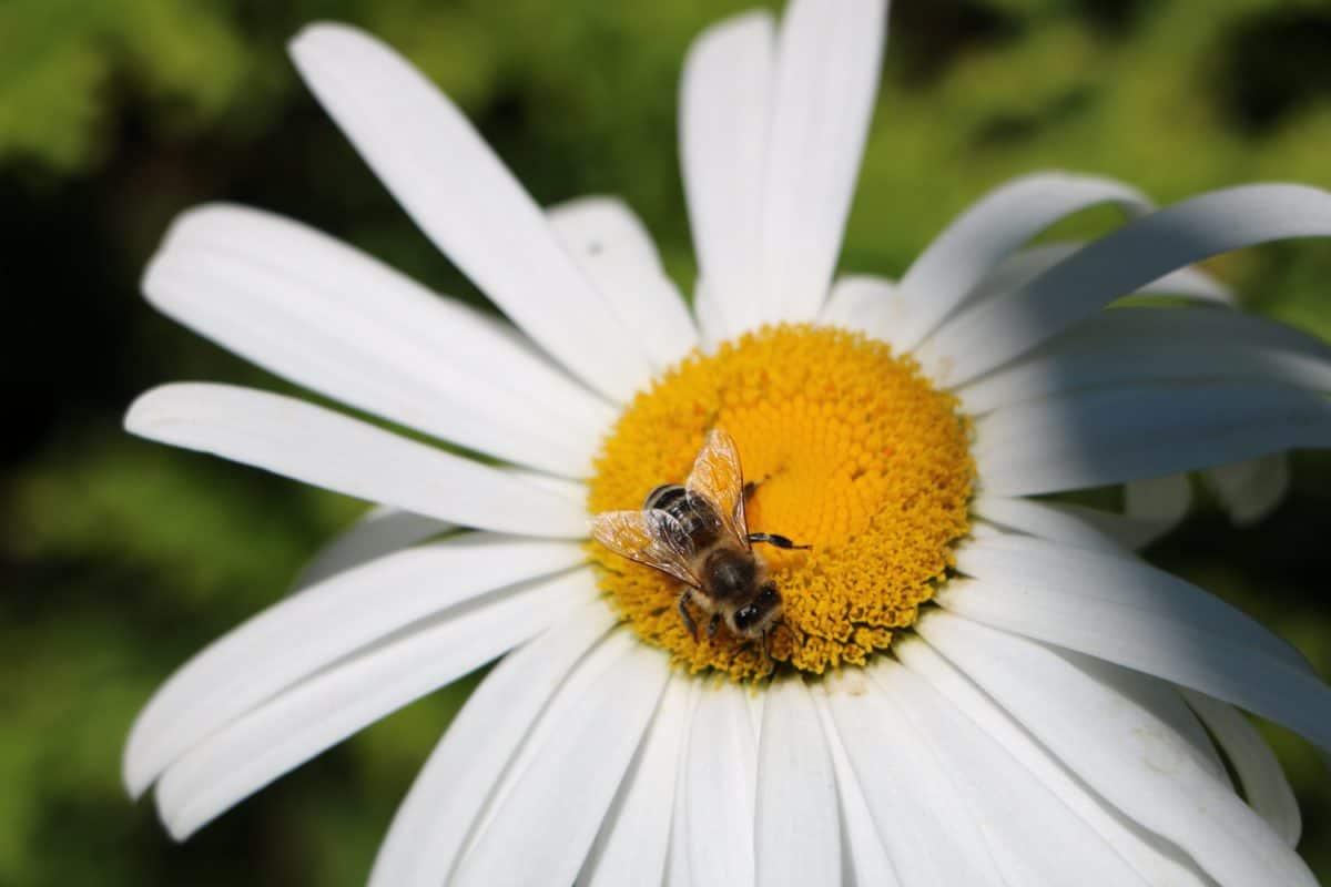 bee, nature, pollen, flora, flower, summer, insect, daisy