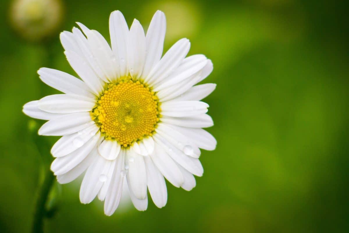 estate, rugiada, pioggia, foglia, natura, flora, fiore, Margherita, pianta, fiore