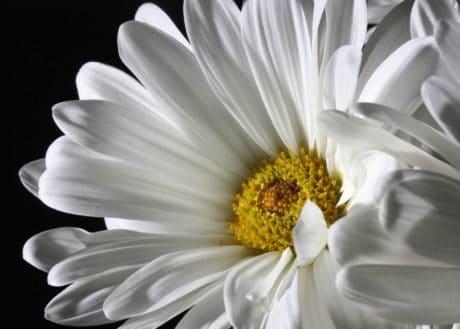 summer, flower, flora, macro, nectar, nature, daisy, blossom, petal