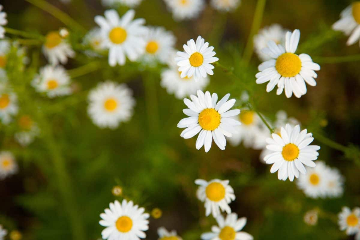 nature, chamomile, summer, flora, garden, grass, flower, field