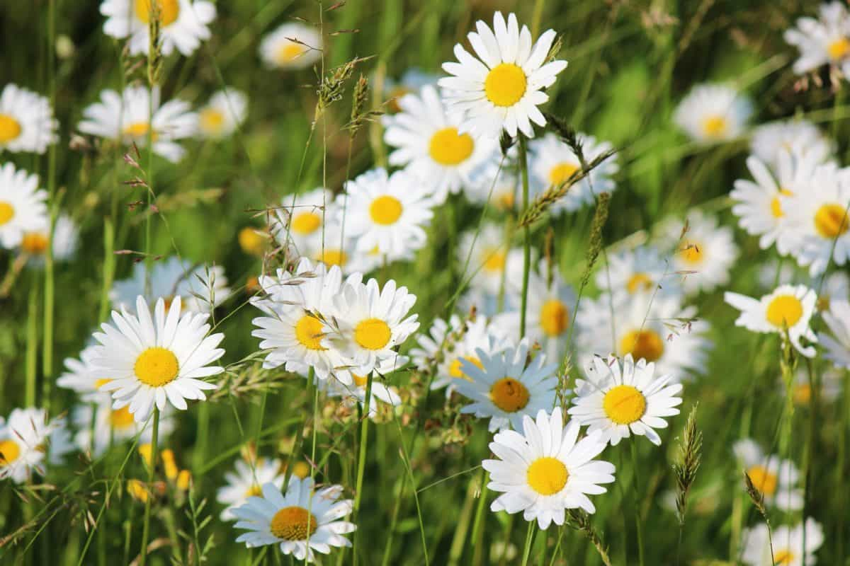 flora, grass, garden, daisy, meadow, summer, field, nature, flower