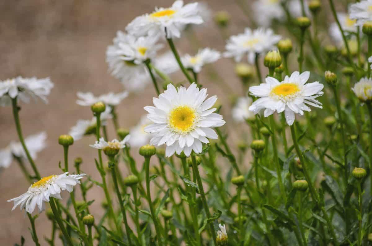 garden, flower, daisy, meadow, leaf, field, summer, nature, flora