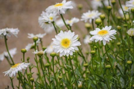 Záhrada, kvet, daisy, lúka, leaf, pole, leto, príroda, flóra