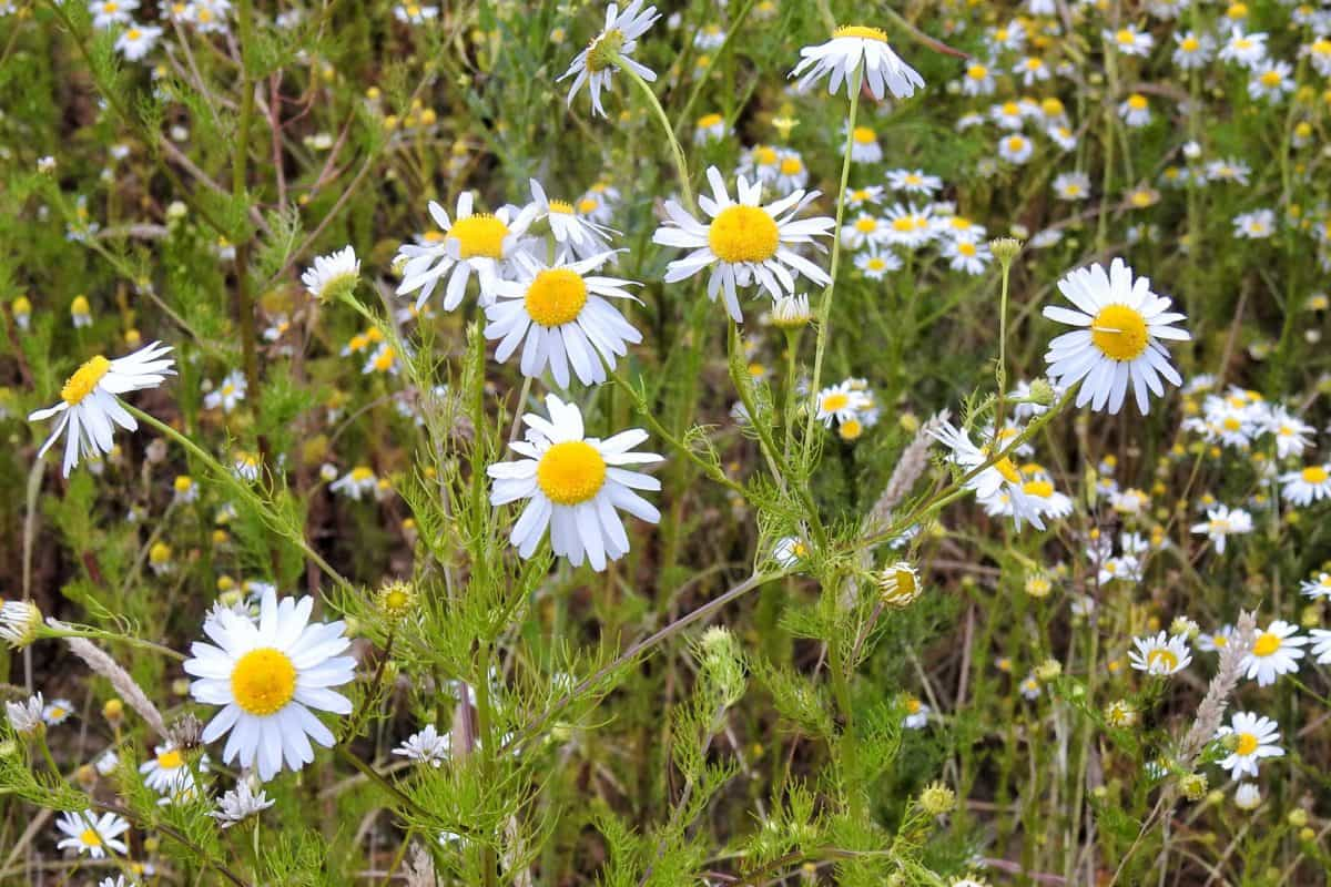 grass, summer, flora, chamomile, field, flower, nature, meadow, wildflower