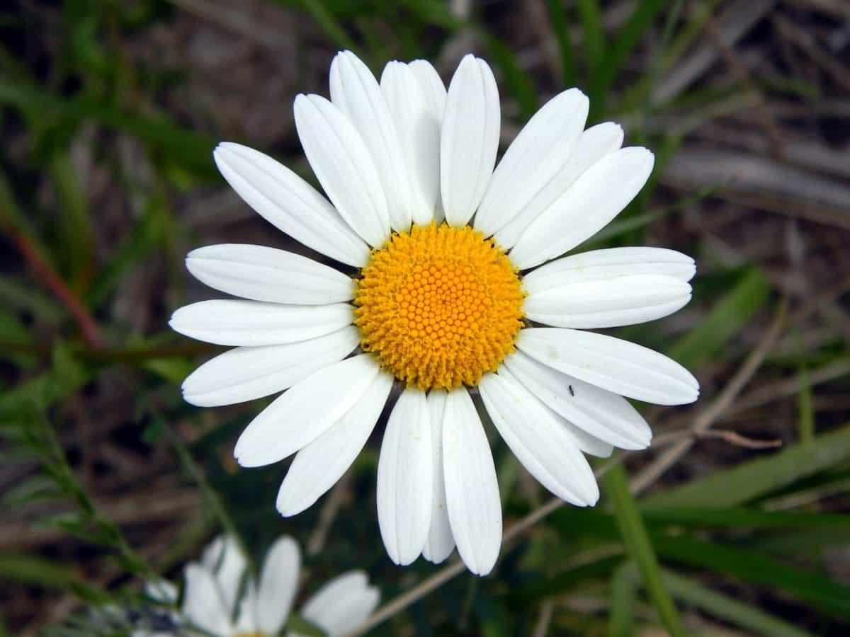 Flora, Sommer, Blume, Garten, Natur, Daisy, Pflanze, Blüte