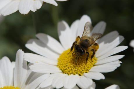 макрос, насекоми, нектар, природа, цветен прашец, флора, цвете, пчела, лято