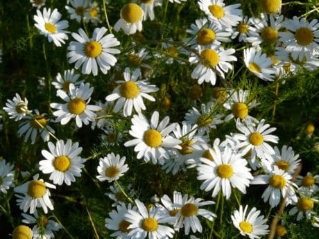 chamomile, garden, nature, meadow, summer, flora, flower, field, grass