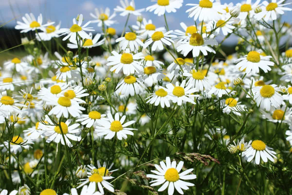 garden, grass, chamomile, summer, flower, nature, flora, field
