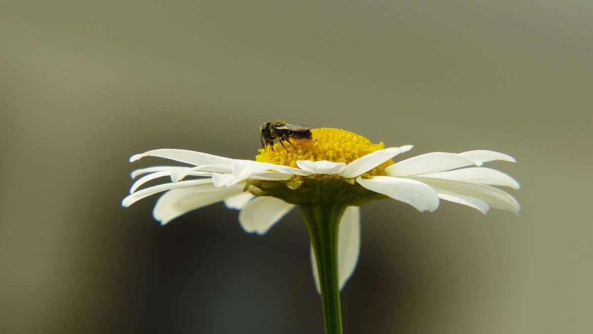 insect, flower, nature, daisy, insect, macro, blossom, plant, garden, petal