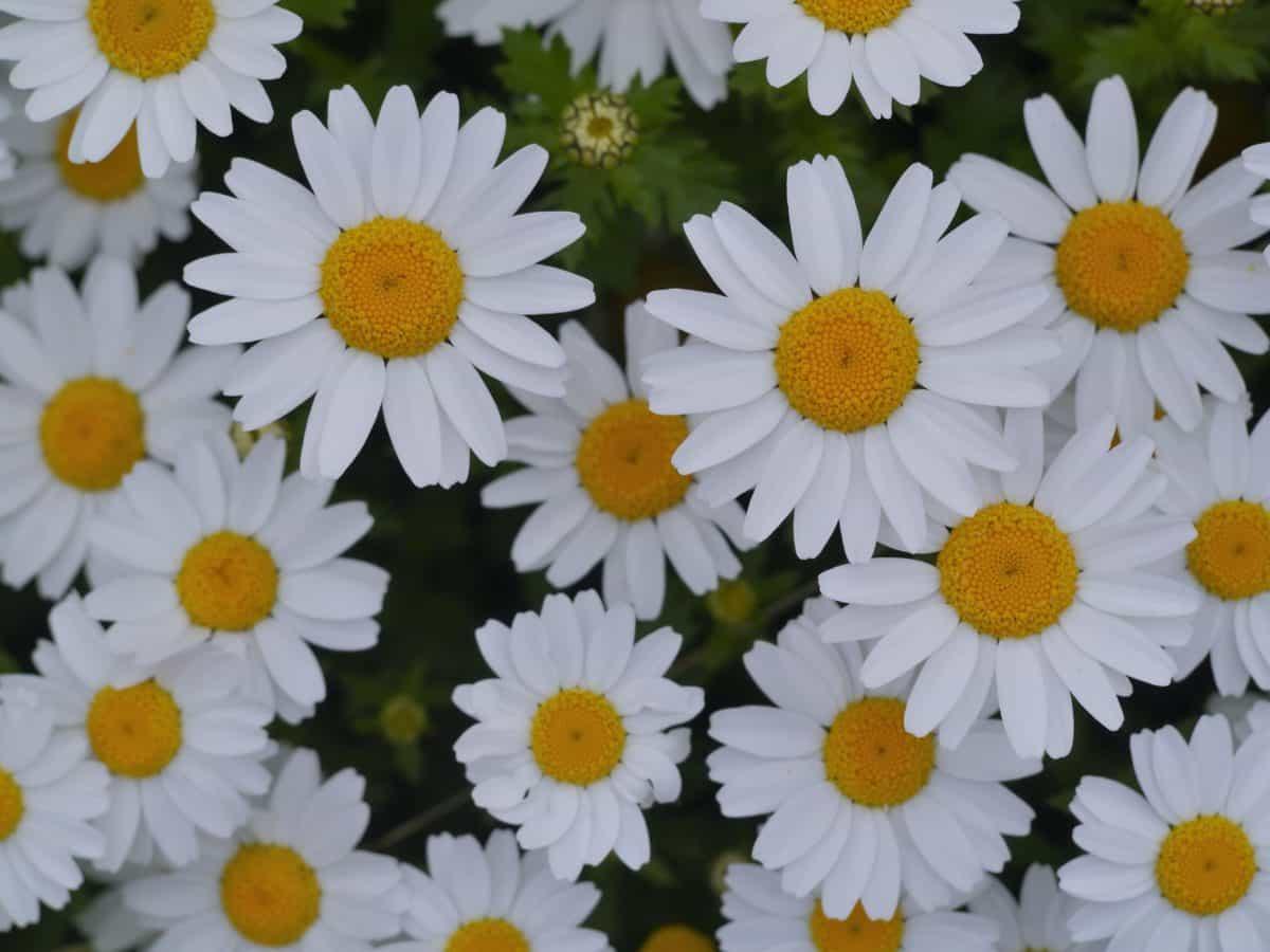 summer, white flower, nature, summer, macro, daisy, herb, plant, blossom