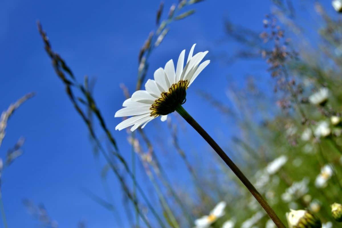 nature, summer, flower, flora, daisy, plant, blossom, garden