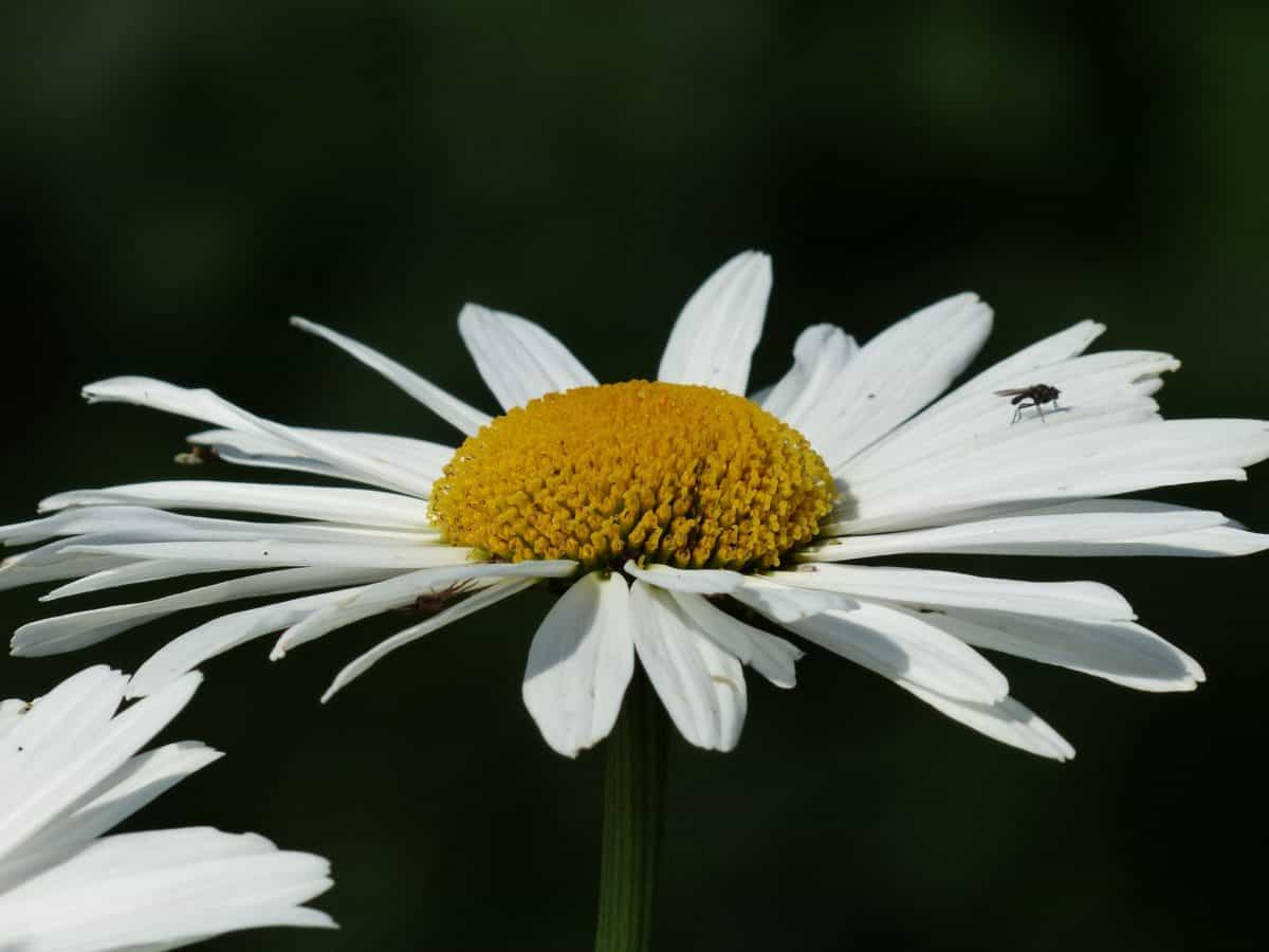 flower, flora, summer, leaf, macro, insect, nature, daisy, plant, blossom