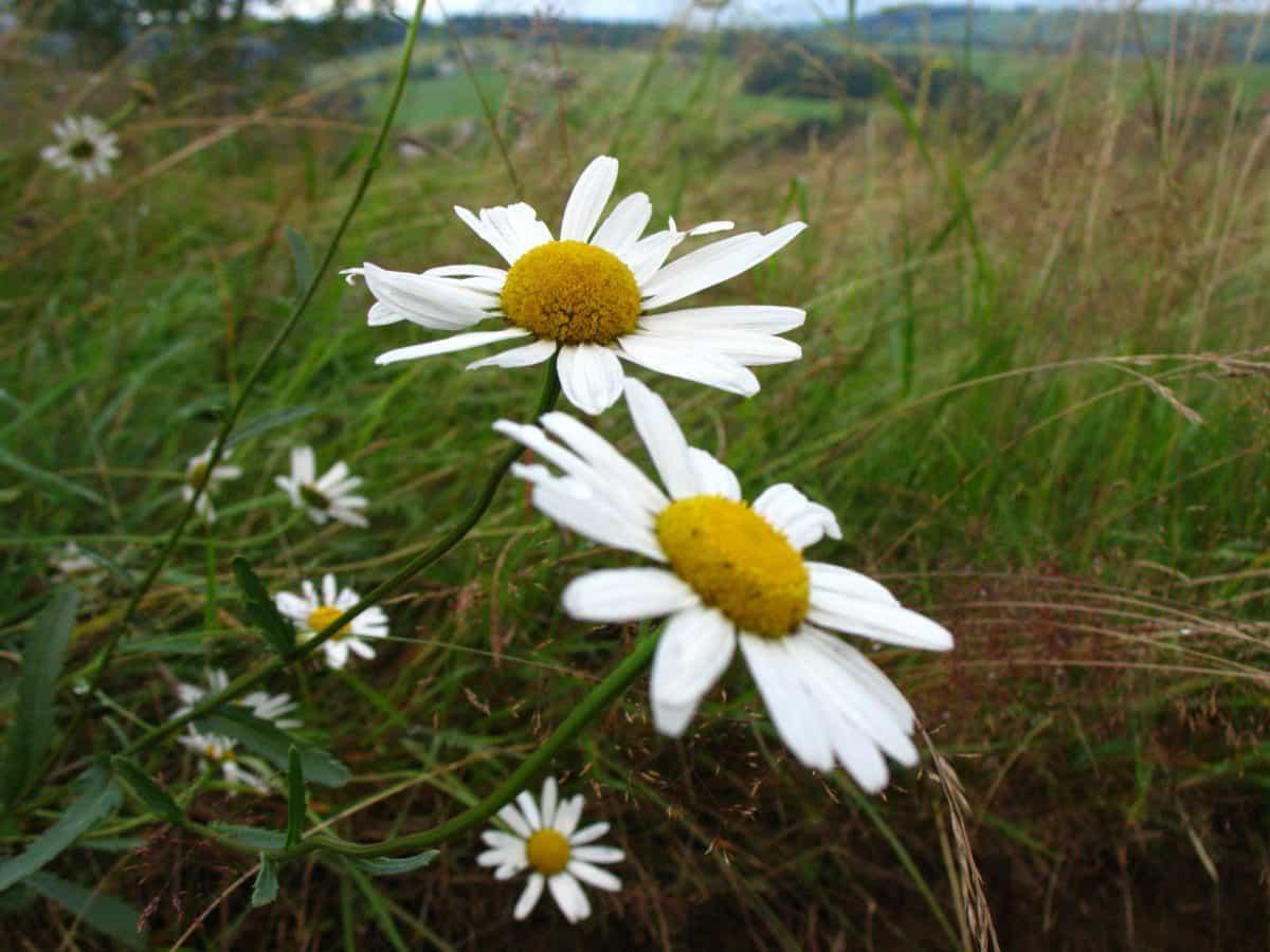 flower, field, grass, nature, flora, summer, daisy, meadow, herb