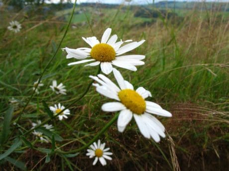 flower, field, grass, nature, flora, summer, daisy, meadow, herb