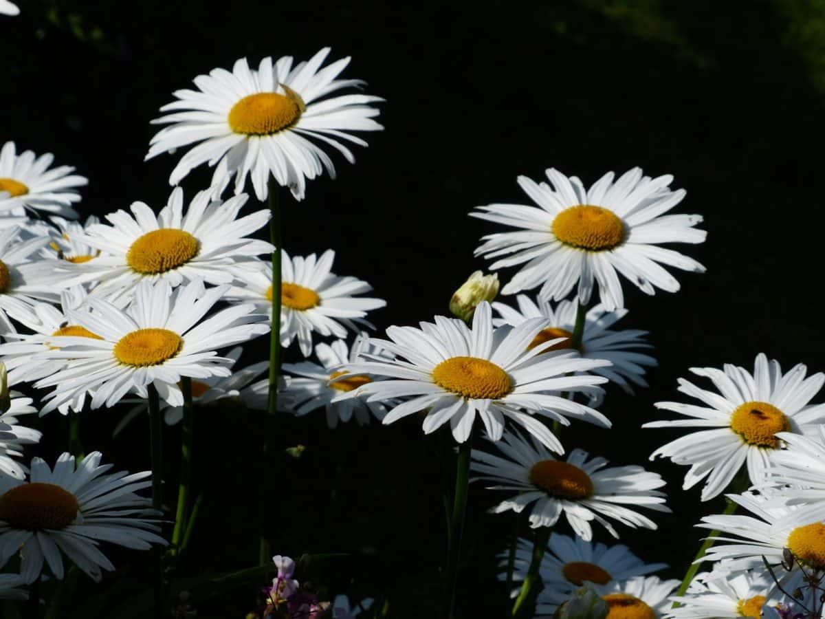 flower, nature, flora, summer, garden, petal, daisy, plant