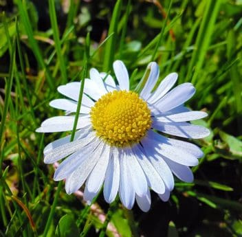 field, flora, grass, summer, garden, flower, nature, daisy