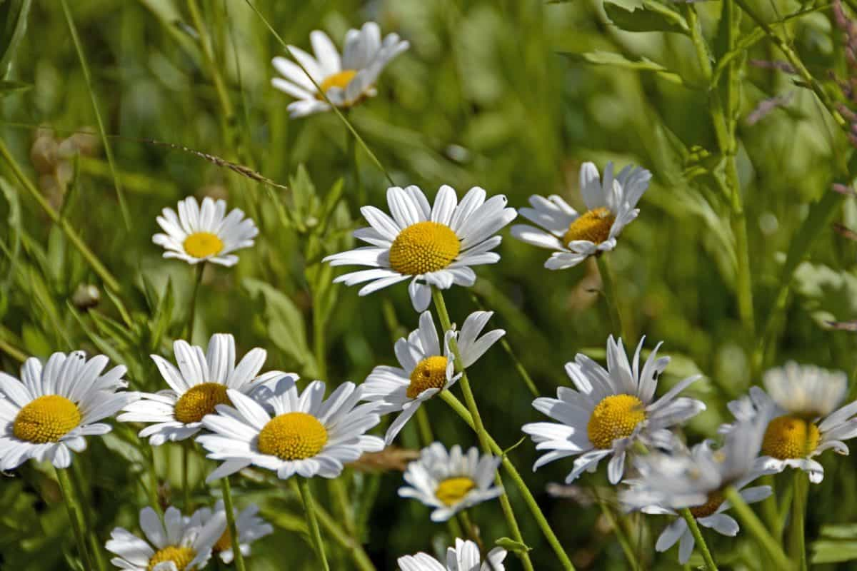 field, summer, garden, flower, nature, grass, flora, daisy