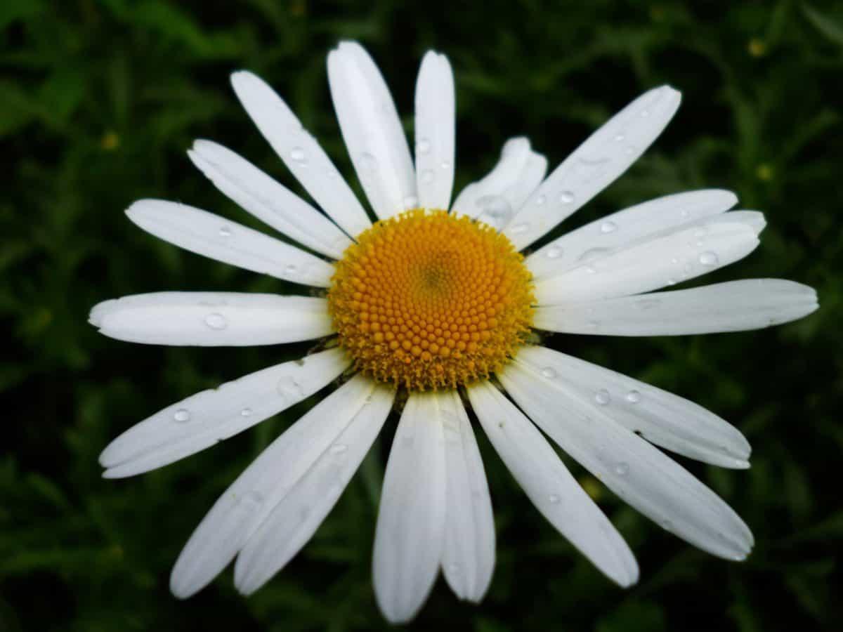 flower, dew, moisture, flora, nature, summer, daisy, plant, blossom, garden