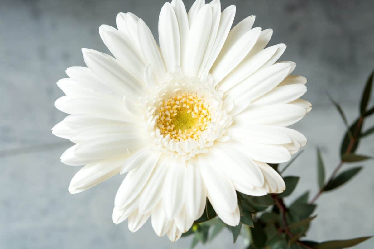 nature, flora, garden, summer, flower, daisy, petal, blossom