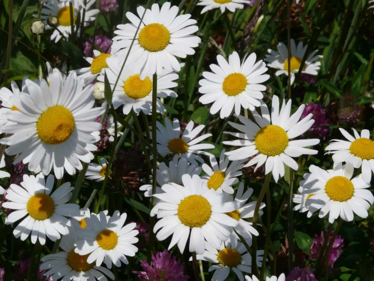 leaf, garden, summer, flower, flora, nature, daisy, plant