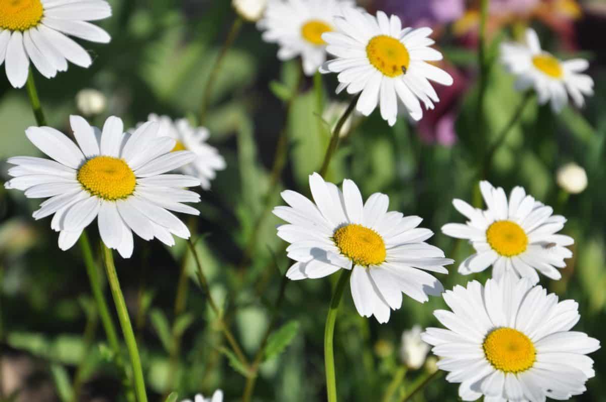 garden, flower, summer, flora, nature, daisy, herb, plant