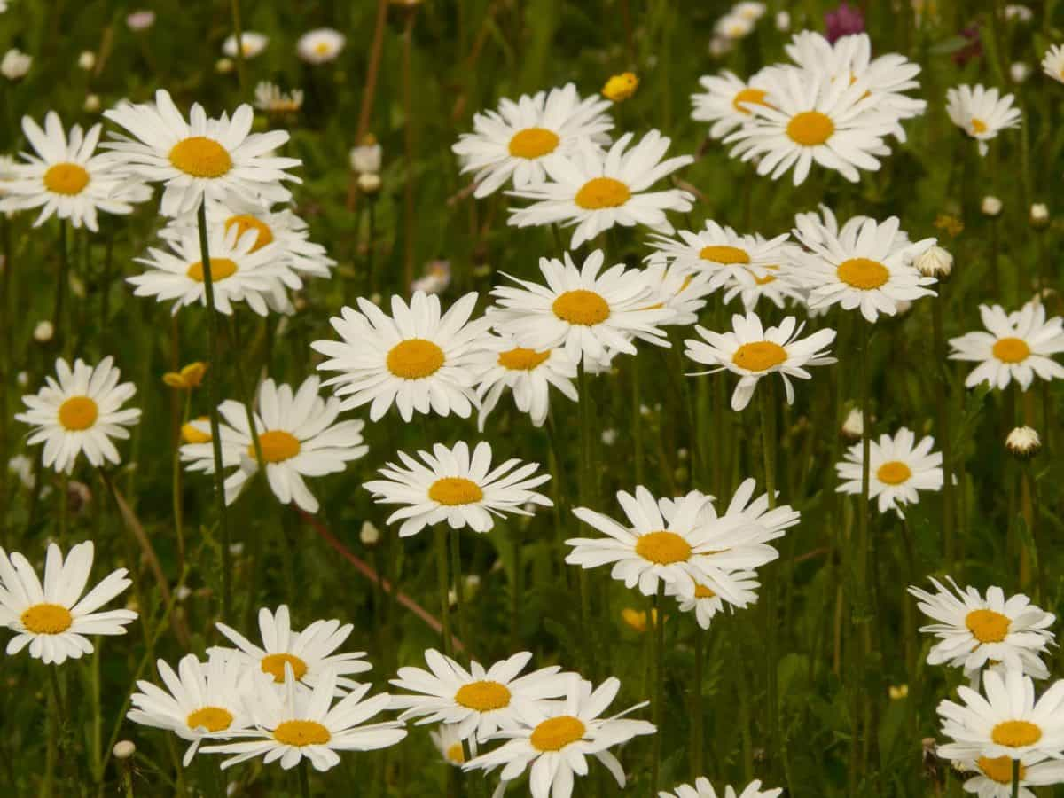 garden, flora, summer, field, flower, nature, daisy, herb