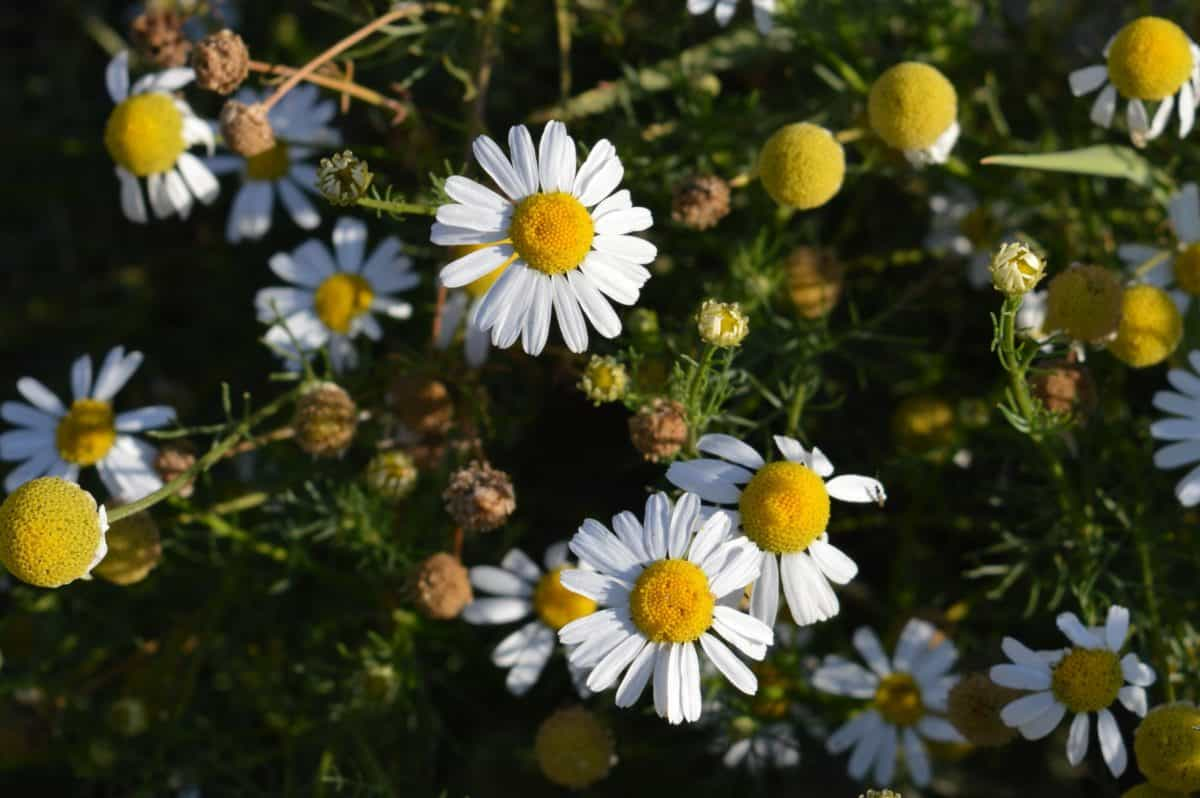 nature, flora, summer, flower, herb, plant, daisy, blossom