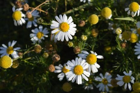 Natur, Flora, Sommer, Blume, Kraut, Pflanze, Daisy, Blüte