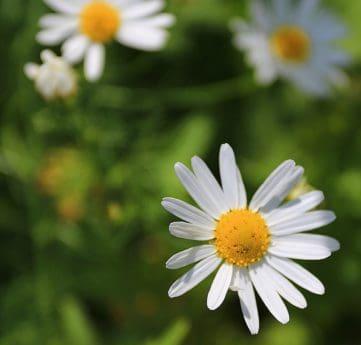 leaf, garden, nature, flower, flora, summer, daisy, plant