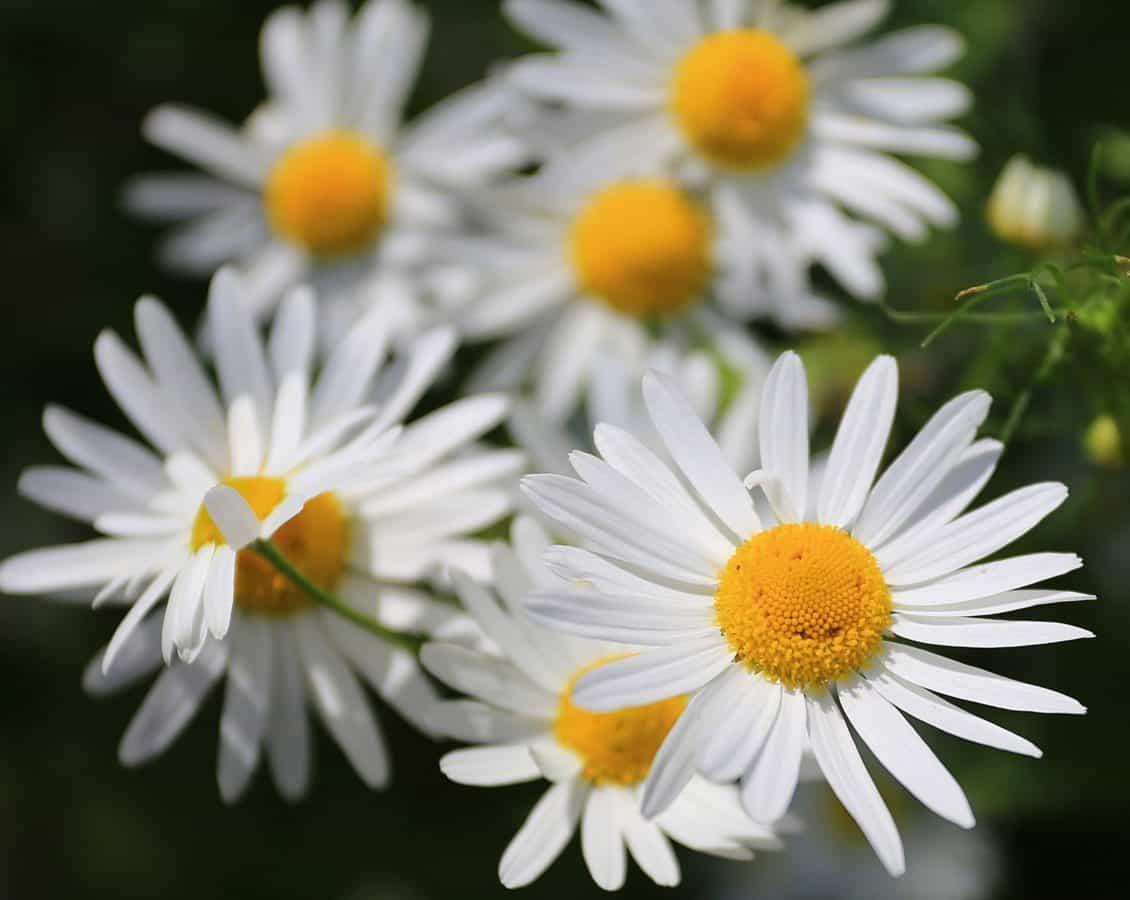 nature, flower, garden, flora, summer, daisy, herb, plant