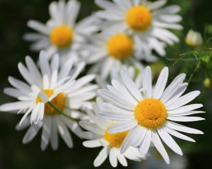nature, flower, garden, flora, summer, daisy, herb, plant