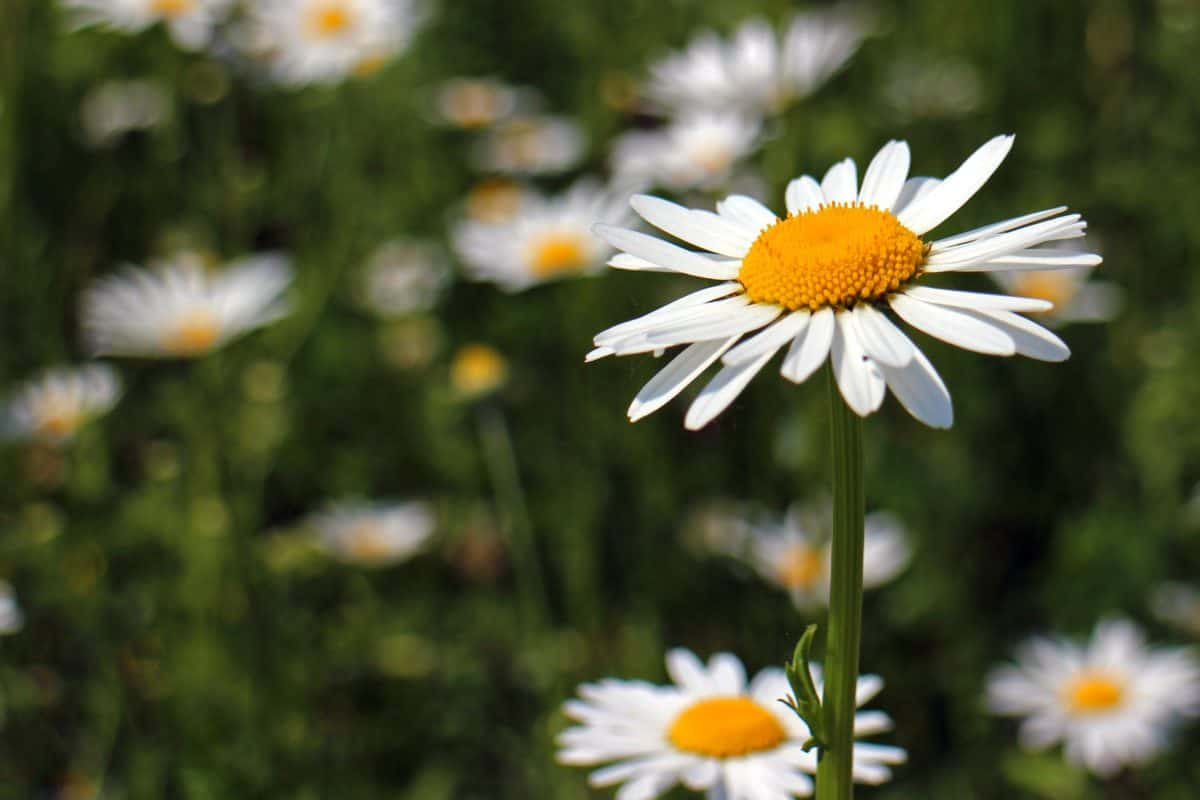 natura, fiore, estate, flora, Prato, sole, campo, giardino, Margherita, erba