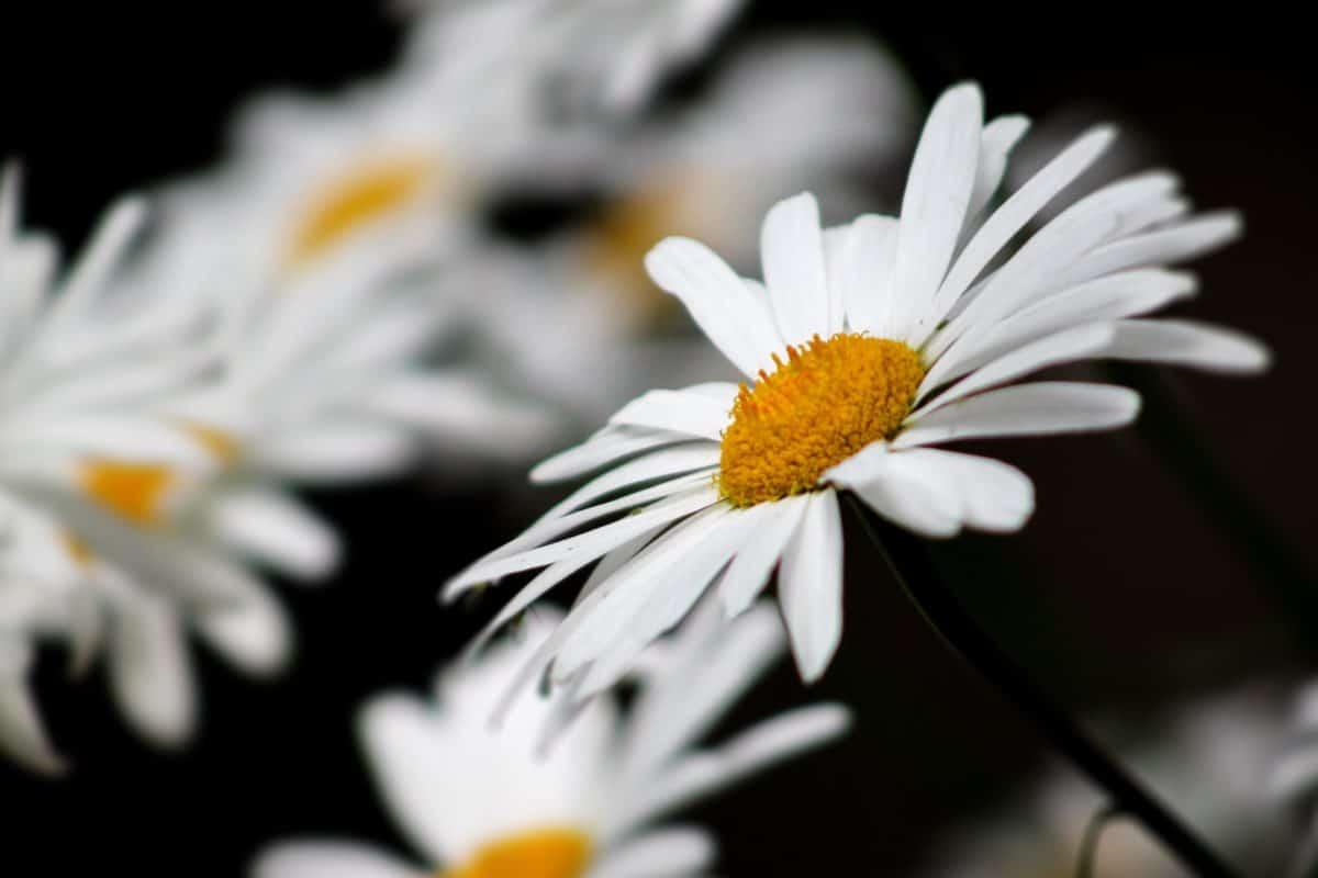 summer, macro, flora, white flower, nature, daisy, plant, blossom, garden