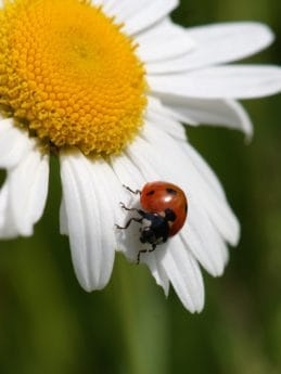 beetle, summer, ladybug, nature, flora, insect, plant, flower