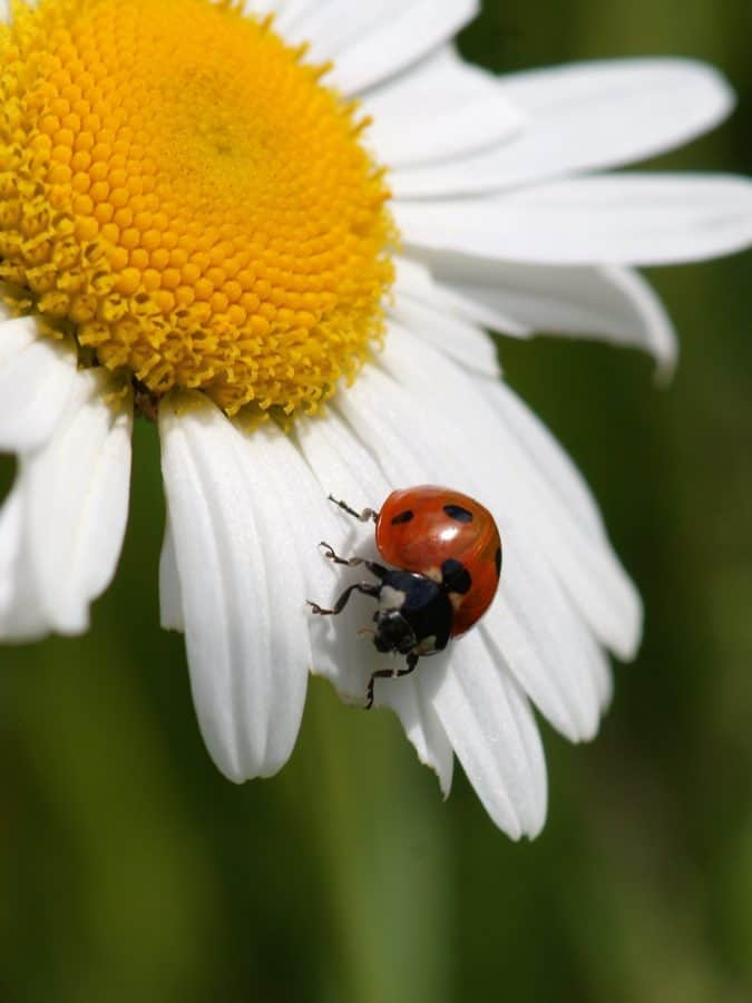 Жук, лето, Божья коровка, природа, флора, насекомых, растений, цветок