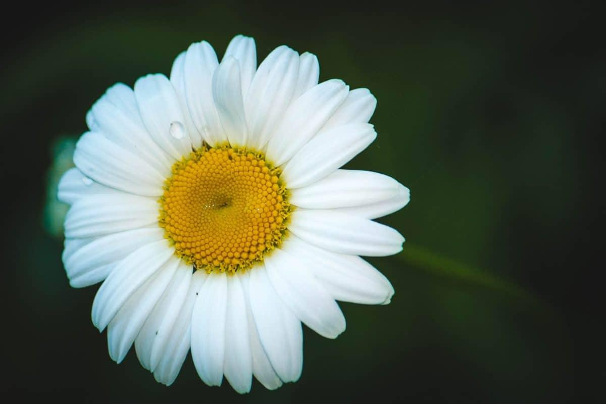 nature, flora, flower, dew, macro, raindrop, daisy, petal, plant, blossom