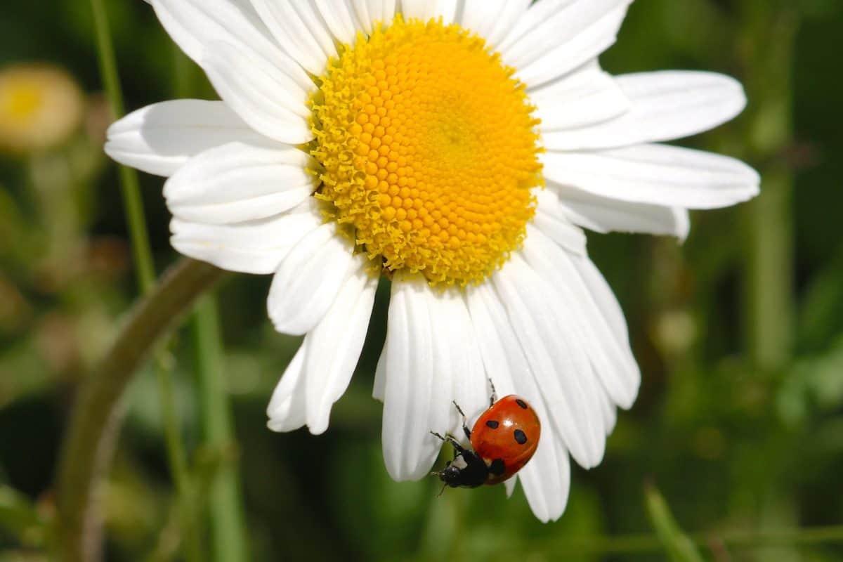 nature, leaf, flower, ladybug, macro, flora, summer, daisy, herb