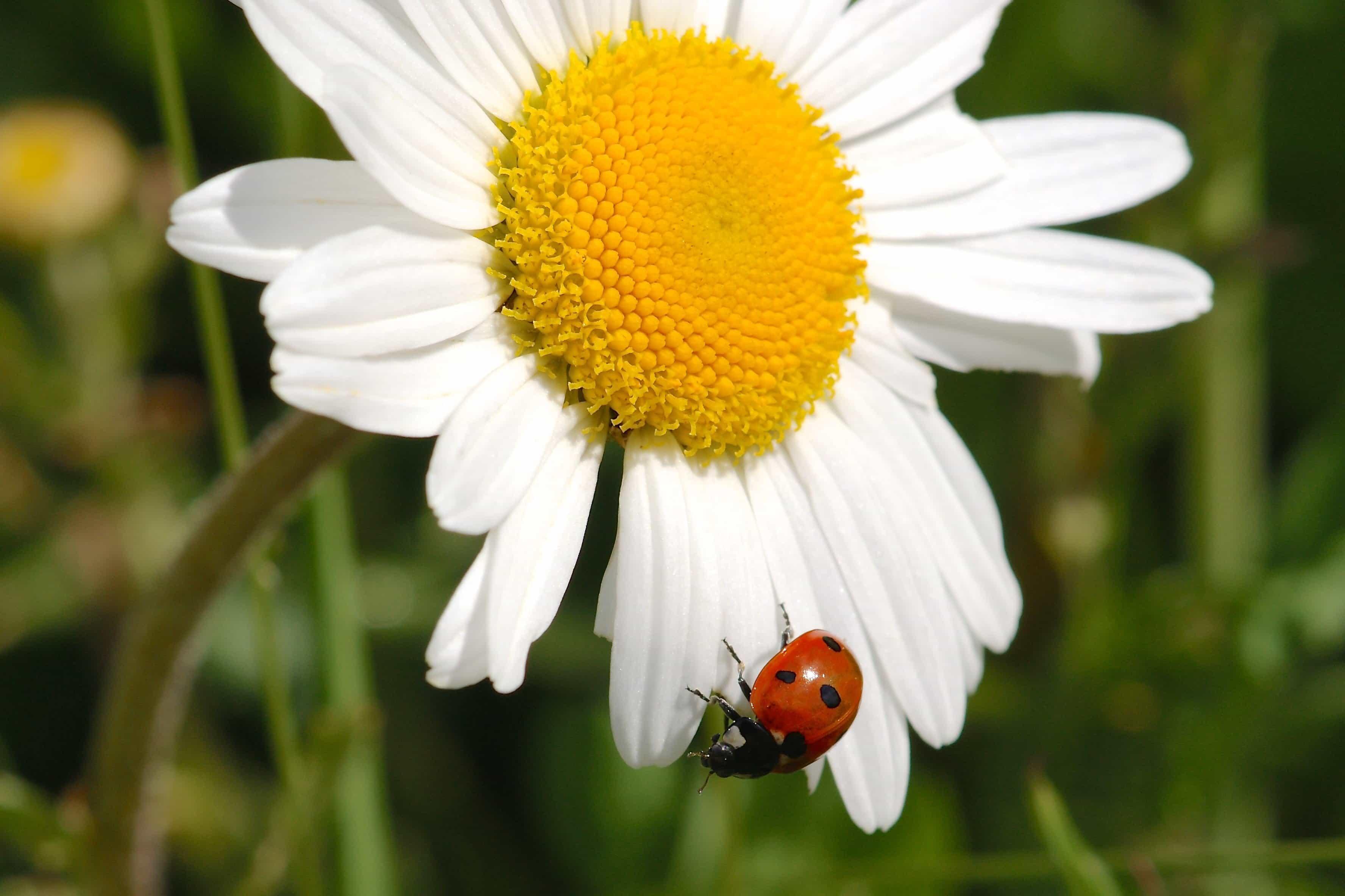 Ganz und zu Extrem Kostenlose Bild: Natur, Blatt, Blume, Marienkäfer, Makro, Pflanzen @XN_43