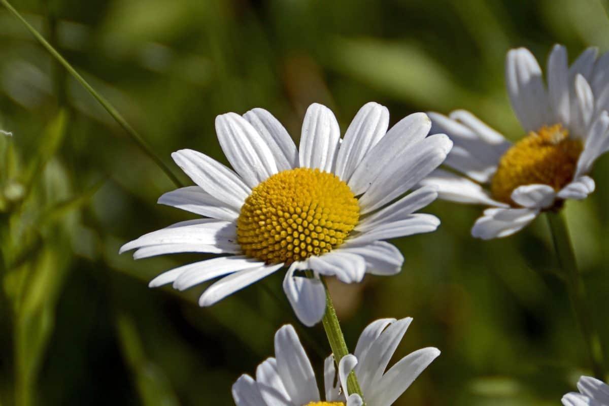 summer, flower, nature, flora, daisy, plant, blossom, garden