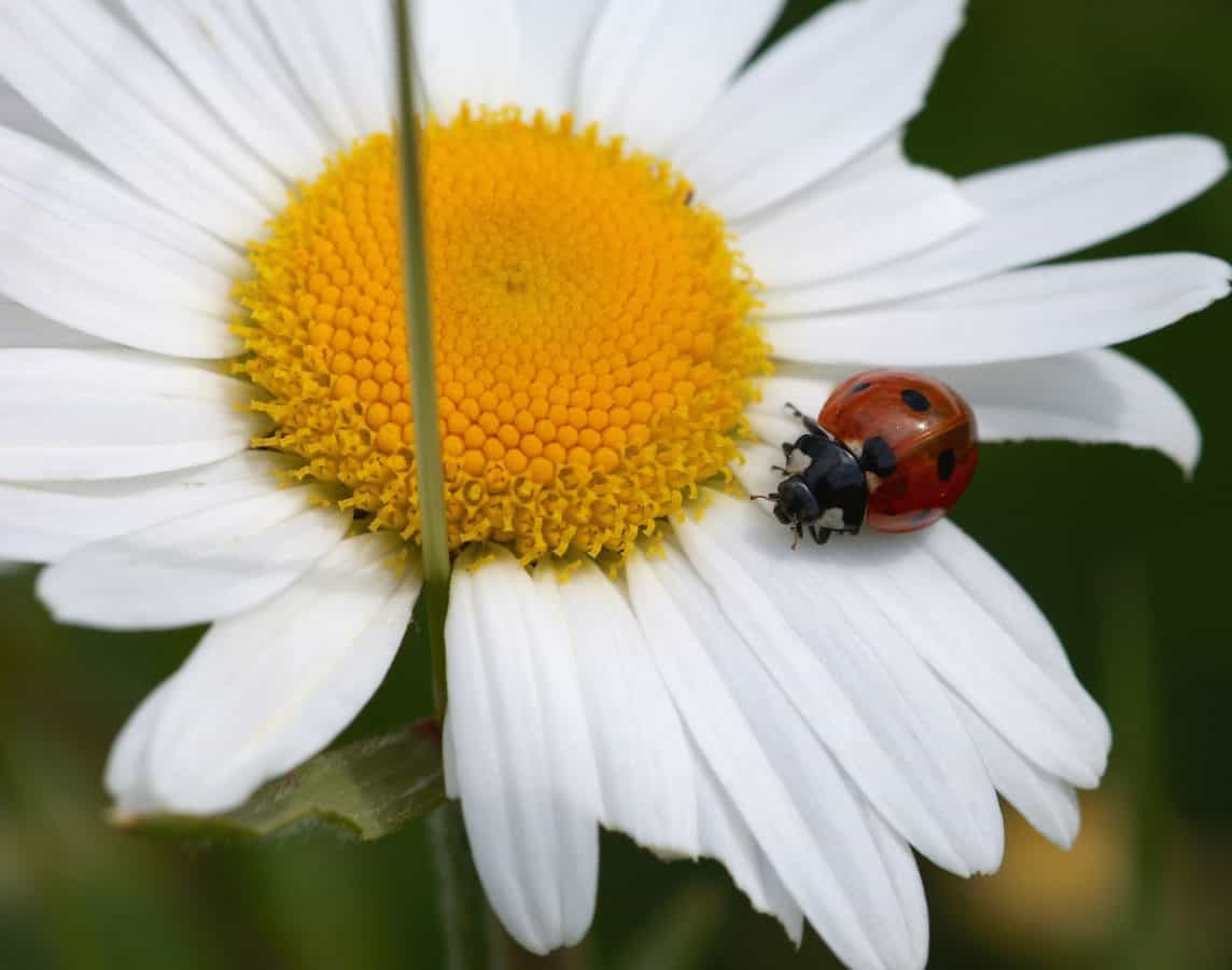 summer, flower, ladybug, insect, flora, nature, garden, daisy, macro